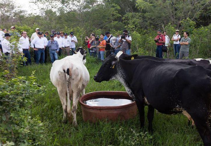 Productores yucatecos aplicarán el sistema silvopastoril para mejorar la calidad en ganadería. (Foto cortesía del Gobierno estatal)