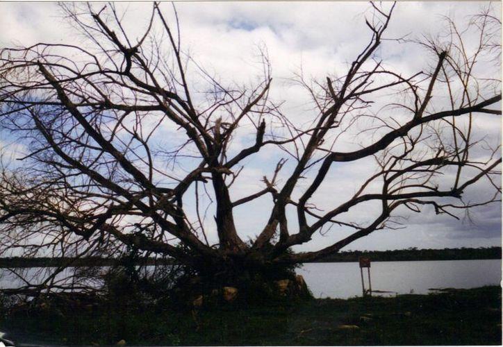 Este viejo árbol es mudo testigo de aquellos avistamientos que causaron gran impacto entre la gente. (Jorge Moreno/SIPSE)