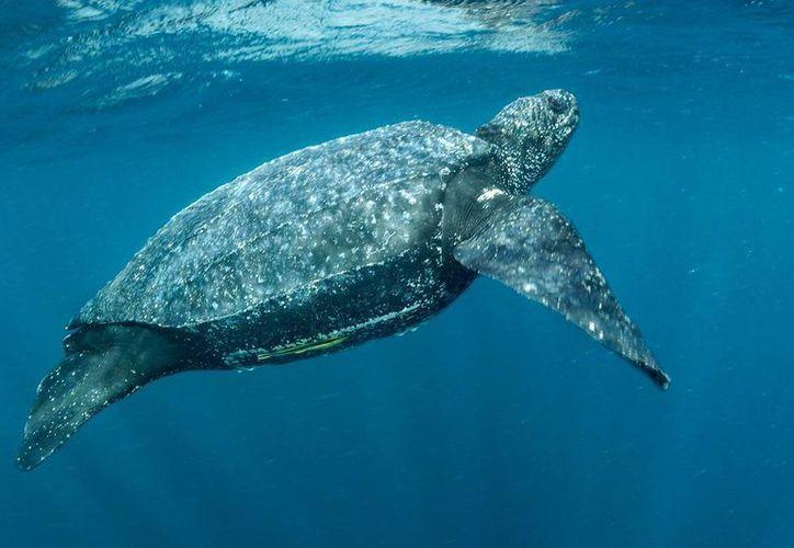 La idea es no interferir en el proceso de desove de las tortugas que empezaron a arribar desde la semana pasada. (Redacción/SIPSE)