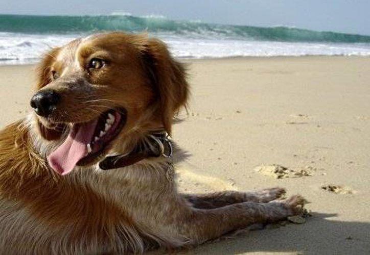 Los bañistas se quejan de la presencia de los perros en las playas de Solidaridad, aunque estos tengan dueño. (Foto/Internet)