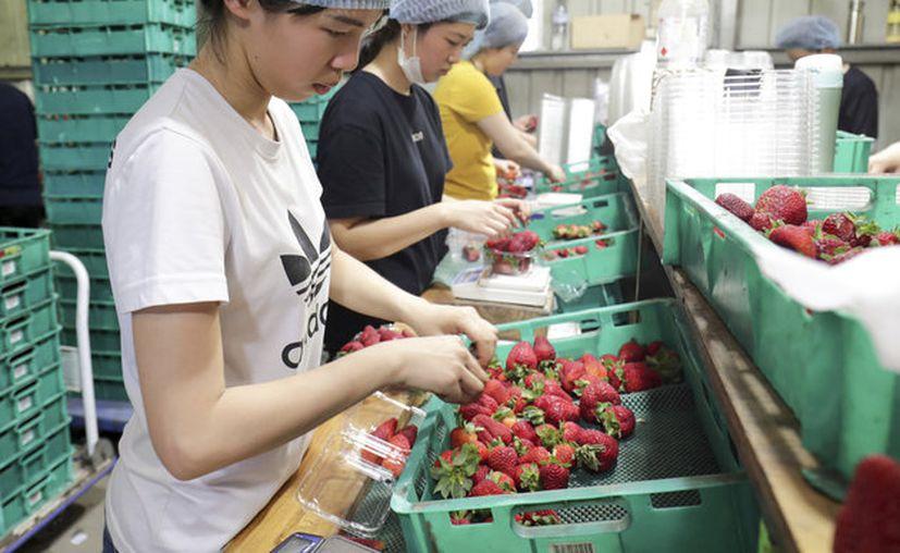 Una supervisora de recolectores de fresas de una granja australiana colocó agujas dentro de los frutos, en venganza por una queja laboral. (AP)