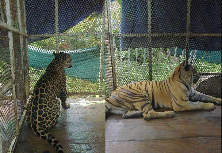 Imagen de dos de los animales asegurados por la Profepa en Veracruz. (twitter.com/PROFEPA_Mx)