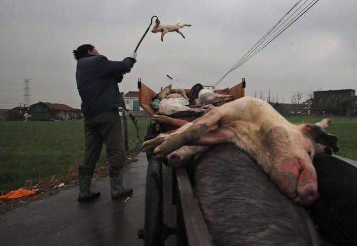 El mes pasado se hallaron más de 16 mil cerdos muertos. (Archivo/EFE)