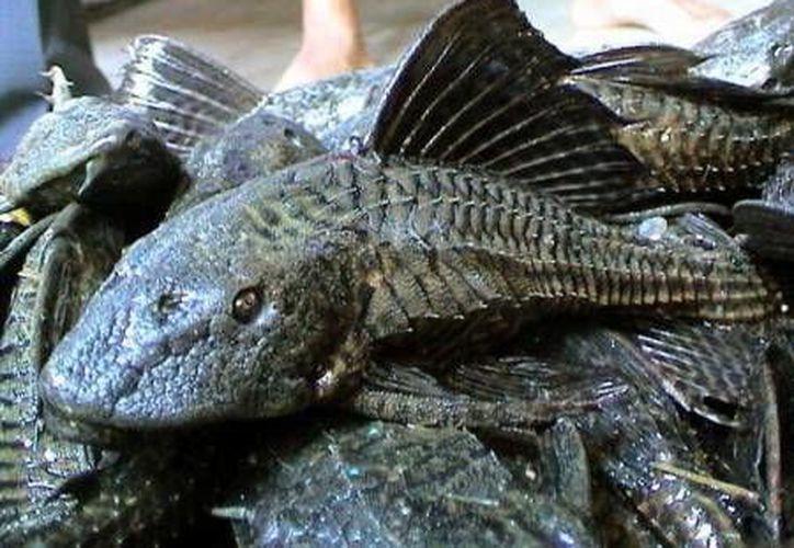 El pez diablo es una de las especies invasoras que amenaza el ecosistema del Caribe y las actividades pesqueras. (Foto de contexto/Internet)