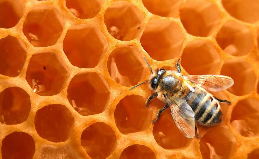 Durante la ceremonia se realizó el ritual de la cosecha de miel de la abeja melipona. (Foto: Contexto/SIPSE)