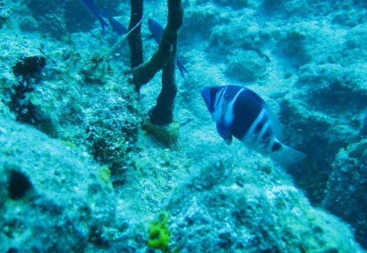 Los contaminantes asociados a los residuos humanos son los principales factores que estresan los arrecifes de coral. (Redacción/SIPSE)