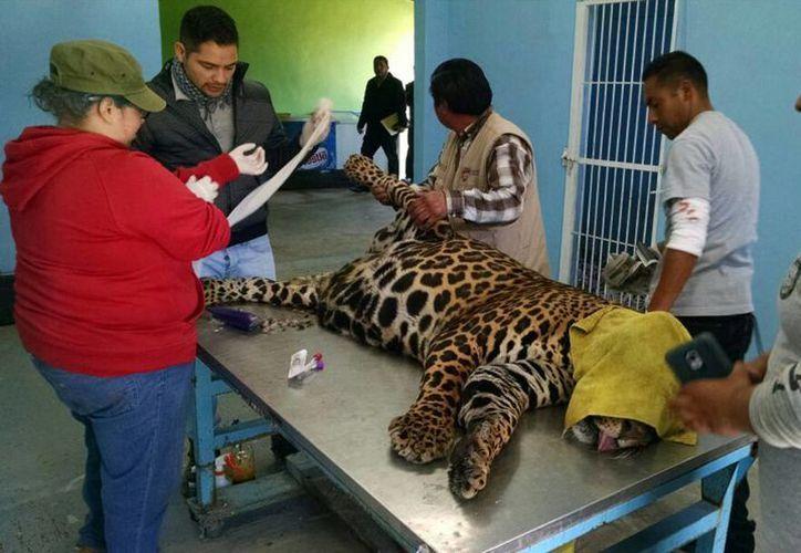 En la parte sur de la República existe una población de por lo menos mil 800 ejemplares de jaguar viviendo en libertad. (Archivo/Notimex)