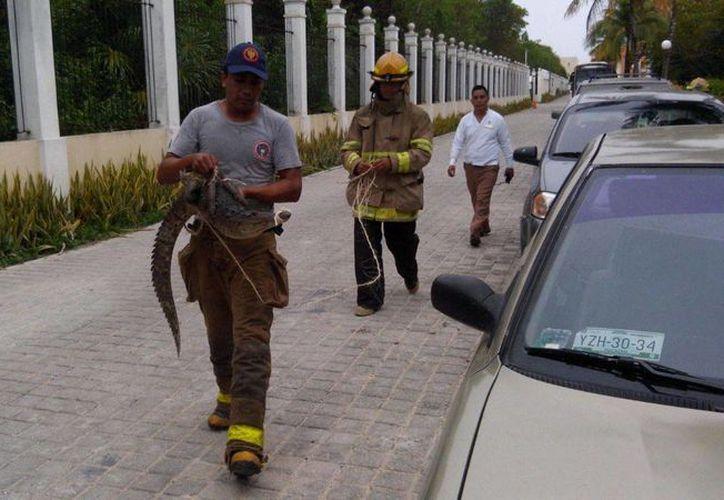El cuerpo de Bomberos aseguró ayer a un cocodrilo que merodeaba en un hotel de Tulum. (Redacción/SIPSE)