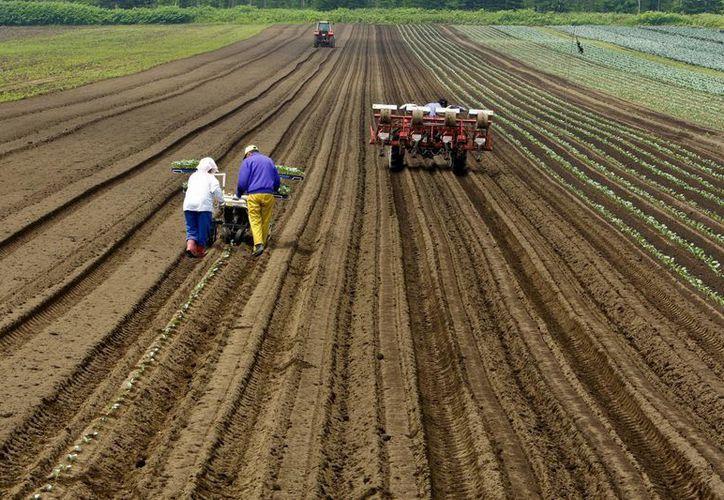 Los productores de maíz recibirán 40 kilos de semilla que serán facilitados por el Centro Internacional de Mejoramiento de Maíz y Trigo de México. (Archivo/EFE)