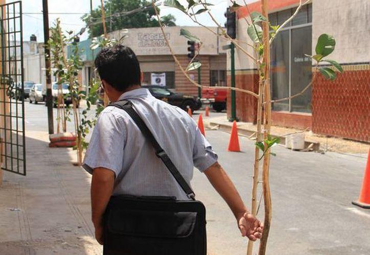 El Ayuntamiento de Mérida considera que en un futuro estos arbolitos ocasionarán problemas. (SIPSE)