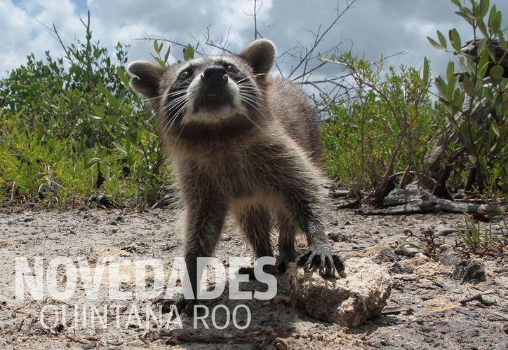 Pierden la vida cientos de organismos silvestres atropellados en las carreteras de Cozumel. Foto: Gustavo Villegas