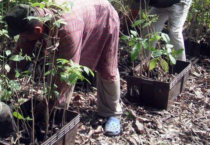 Algunos reforestan áreas taladas. (Milenio Novedades)
