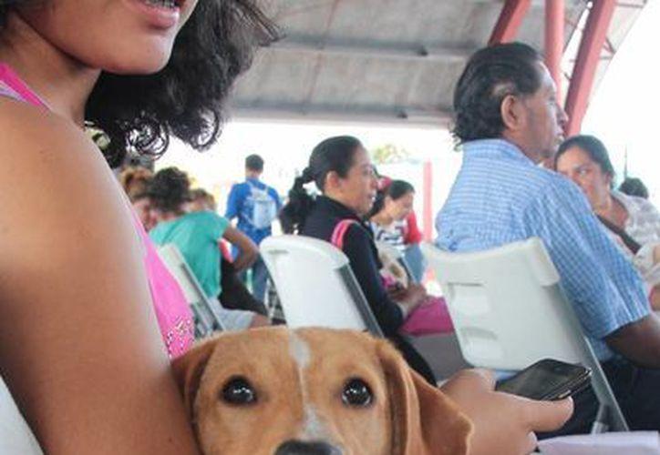 La Sociedad Humanitaria de Cozumel tiene una campaña permanente de esterilización gratuita. (Gustavo Villegas/SIPSE)