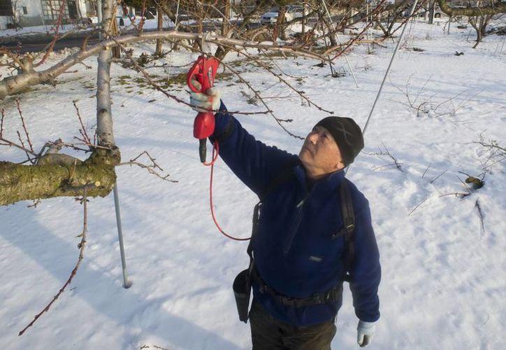 Un granjero japonés corta las ramas de un árbol en Fukushima, Japón. (EFE)
