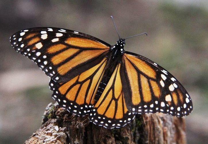 Para el Mes de la Mariposa Monarca en el Zoológico de Chapultepec se adquirirán 350 pupas de esta especie a la semana. (Notimex)