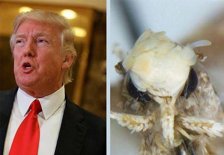 No hace falta enumerar las similitudes de la polilla con el peinado del polémico magnate. (Excélsior)