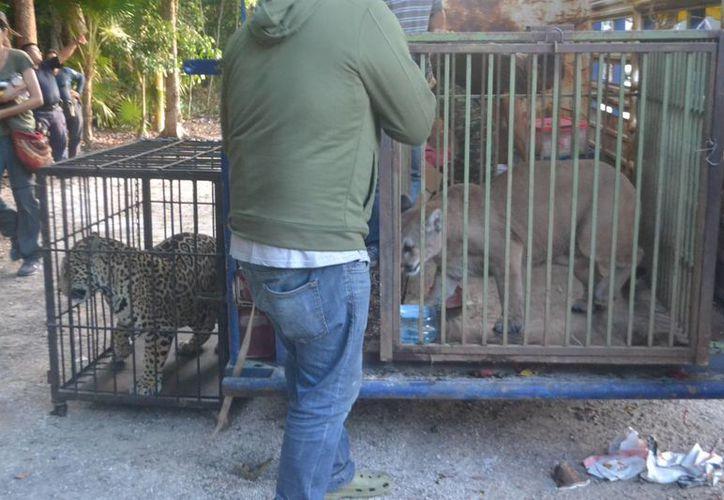 Siete animales de vida silvestre fueron asegurados ayer por la Profepa. (Redacción/SIPSE)