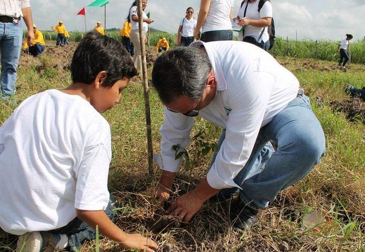 Los núcleos agrarios y las dependencias federales han iniciado una serie de programas a fin de poder recuperar la población de estas especies maderables. (Edgardo Rodríguez/SIPSE)