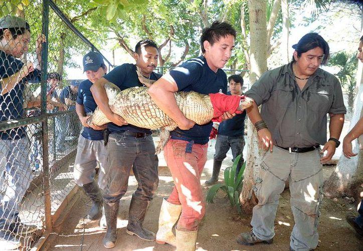 Los trabajadores del zoológico practicaron cómo atar a un cocodrilo para su traslado. (Milenio Novedades)