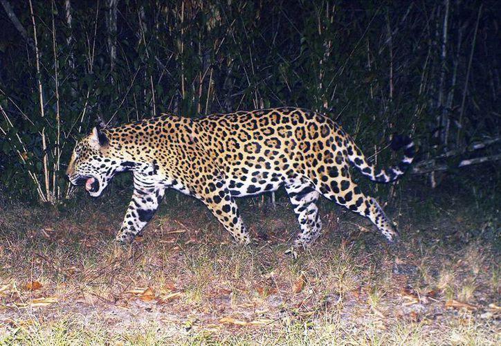 Las principales amenazas que sufre el hábitat de los felinos son la construcción de carreteras y la caza furtiva. (Milenio Novedades)