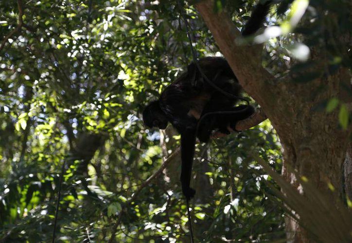 En el Sureste se ha perdido 77% de la población de monos. (Redacción/SIPSE)