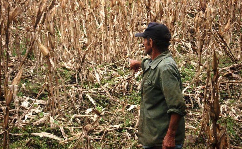El problema no es exclusivo de Yucatán, sino que es un fenómeno que afecta grandes extensiones de cultivos. (Foto: contexto Internet)