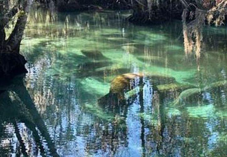 Las autoridades están preocupados por la muerte de manatíes. (vanguardia.com)