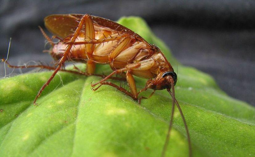 Algunas plantas tienen propiedades que ahuyentan a las cucarachas. (Pixabay)