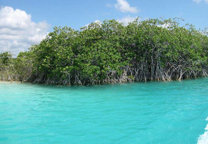 Una hectárea de manglar captura cuatro veces más carbono que una de árboles.  (Javier Ortiz/SIPSE)