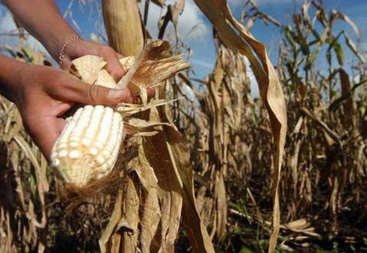 Los agricultores que se vieron afectados por la sequía atípica que se vivió durante el verano, podrán contar con el 70% del valor de la cosecha, de acuerdo con el seguro que se contrató al inicio del ciclo. (Harold Alcocer/SIPSE)