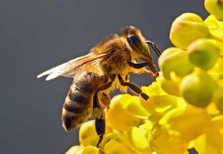El poder del veneno de las abejas ha sido empleado también para destruir tumores. (Contexto/Internet).
