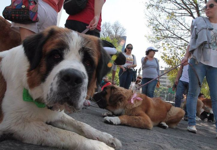 Al igual que en los humanos, la detección oportuna de cáncer de mama en perros hembra da mayores posibilidades de recuperación. (Archivo/Notimex)