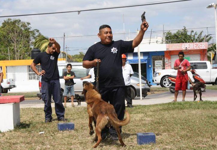 Los perro-policías entran en acción cuando en rincones donde el ojo y el sentido del olfato humano no llega, se encuentran ocultos químicos y armas de fuego. (Enrique Mena/SIPSE)