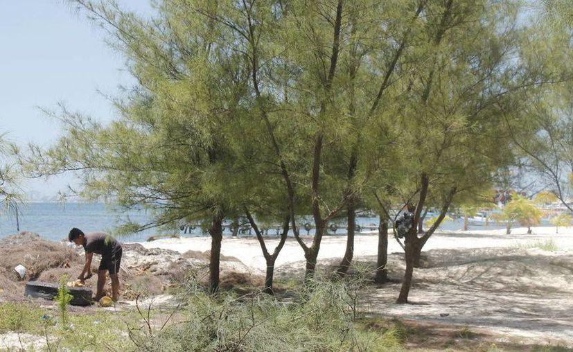 Retirar los pinos de mar cercanos a la laguna, asegura el desarrollo de las especies nativas como el mangle. (Jesús Tijerina/SIPSE)