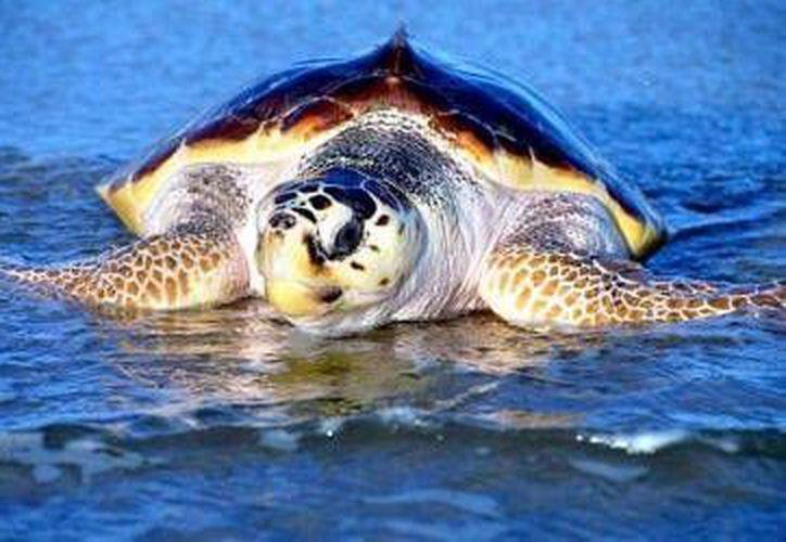 Organismos ecológicos reportaron la llegada de la primera tortuga a las costas de Akumal. (Contexto/Internet)