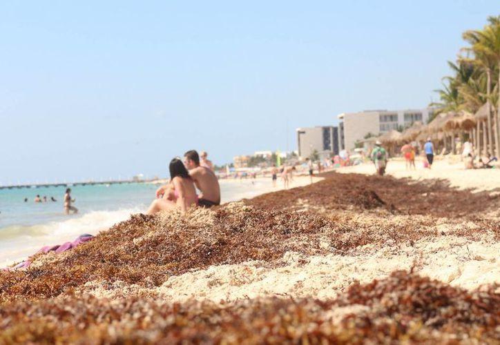 Expertos y autoridades buscan alternativas para darle un uso al sargazo que se acumula en las playas de la Riviera Maya. (Adrián Barreto/SIPSE)