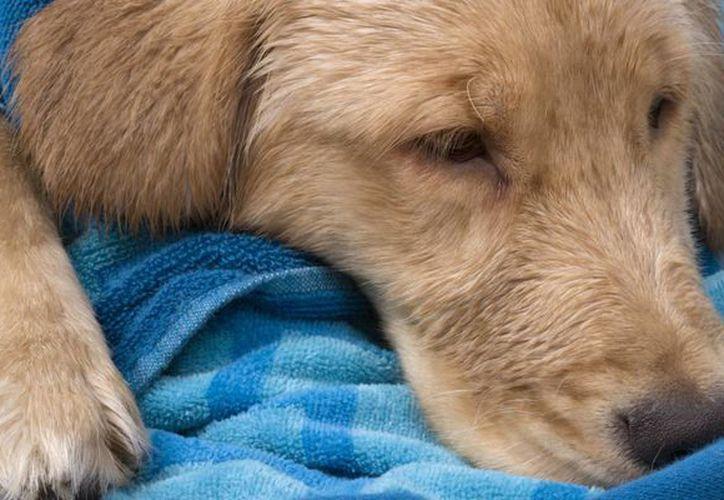 Los perros infectados pueden contagiar a otros animales. (Redacción/SIPSE)