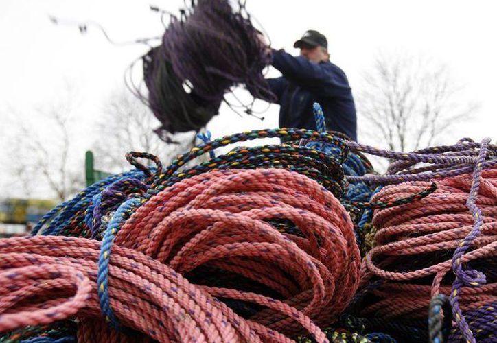 Algunos de los colores de las sogas usadas para redes de langostas no son detectados por las ballenas y por eso se enredan, señalan investigadores. (Agencias)