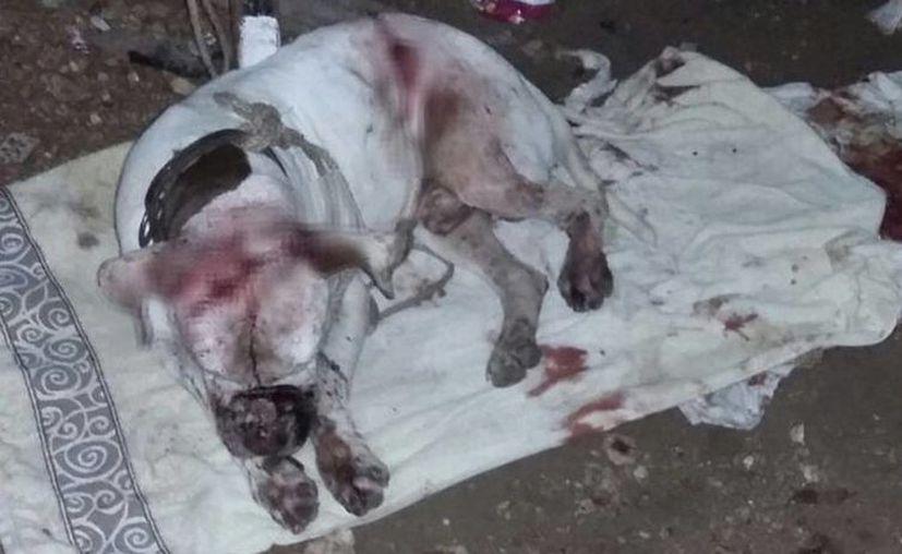 Las tres heridas que recibió atentan contra la vida del canino.(Redacción/SIPSE)