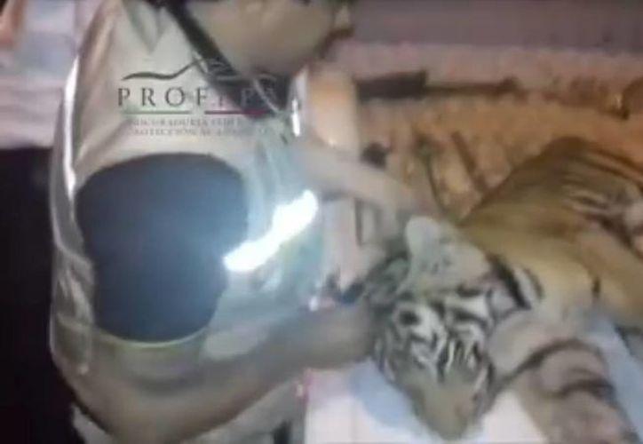 La tigresa, de la especie Panthera tigris, fue trasladasa a una Unidad de Manejo para la Conservación de la Vida Silvestre (Uma). (Profepa)