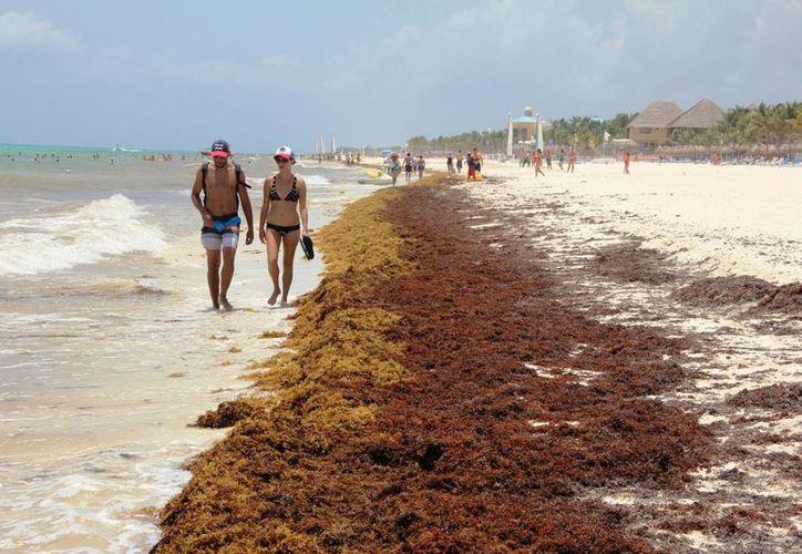 Desde hace una semana el sargazo no ha sido retirado de los arenales de Playa del Carmen.  (Octavio Martínez/SIPSE)