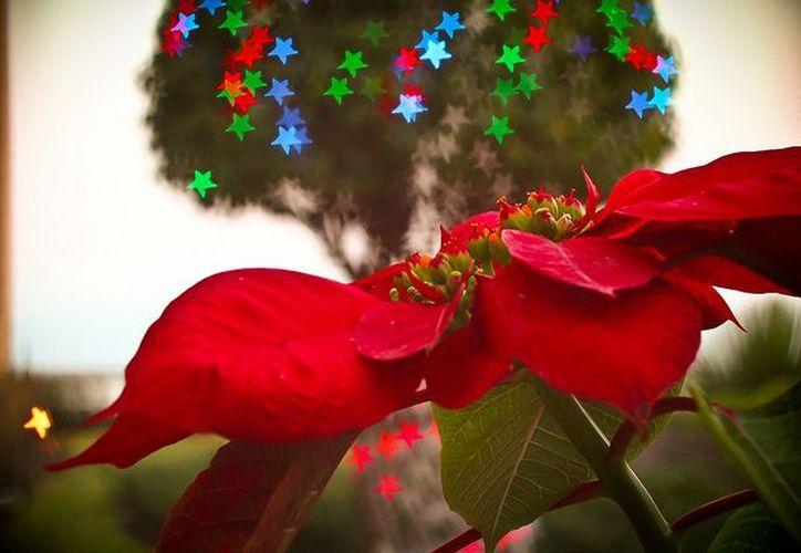La flor de nochebuena o cuetlaxóchitl es originaria de México, y es representativa porque florece en diciembre. (iivangm/flickr.com)