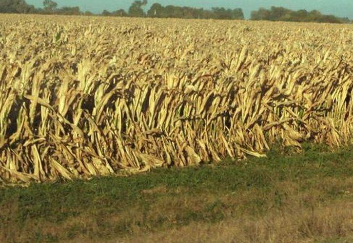El maíz se afectó por la sequía. (Milenio Novedades)