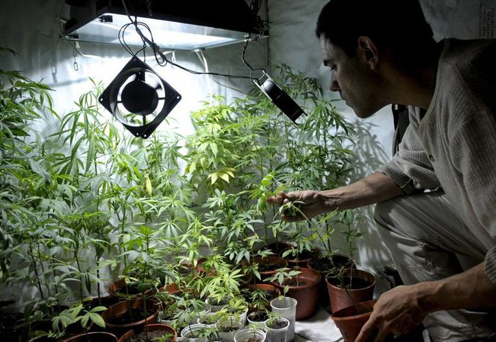 Diputado local del PRD del DF propone la iniciativa de permitir cultivar y consumir marihuana de forma lúdica en la Ciudad de México. Imagen de una persona que cultiva la hierba de manera casera. (Milenio Novedadses)