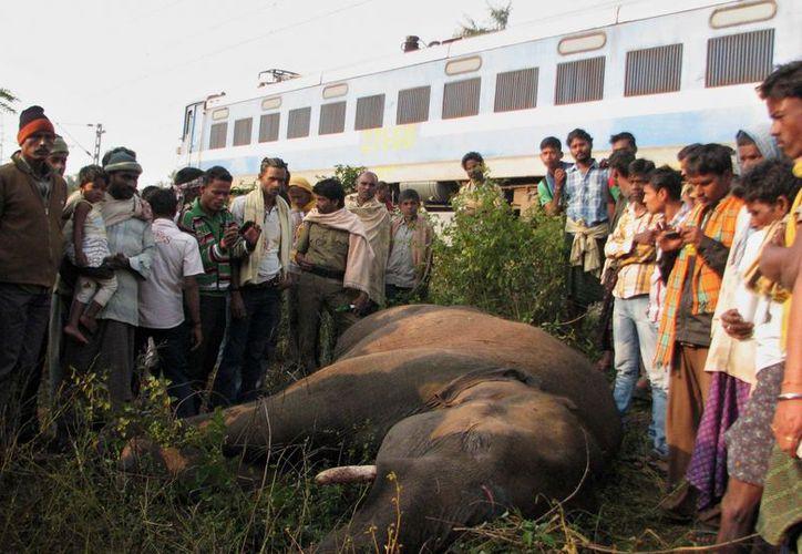 Docenas de paquidermos han muerto en la India en años recientes debido a accidentes ferroviarios. (EFE)