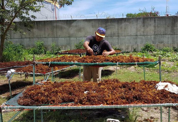 Semanalmente se producen mil litros de producto que es regalado a los campesinos Lázaro Cárdenas y Leona Vicario. (Eva Murillo/SIPSE)