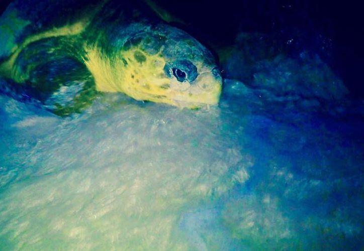 La primer tortuga en arribar a la isla es una caguama. (Foto: Cortesía/Rafael Chacón)