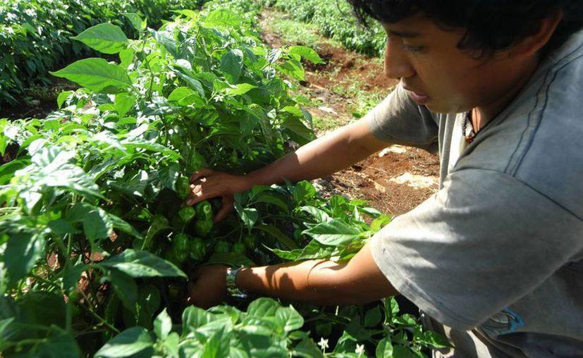 La sequía en el campo yucateco  pone en jaque a los productores, reconoce la Sagarpa. (SIPSE)