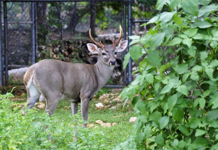 De 1997, fecha de su creación a la fecha hay registradas en Yucatán 298 UMA y predios que manejan vida silvestre de manera confinada. (Archivo SIPSE)