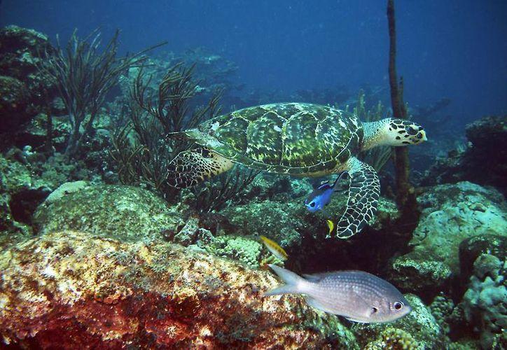 La tortuga de carey es una de las tres especies de quelonio que anidan  en las costas yucatecas. (Milenio Novedades)
